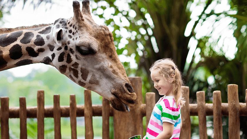 Zoo giraff kid attraction